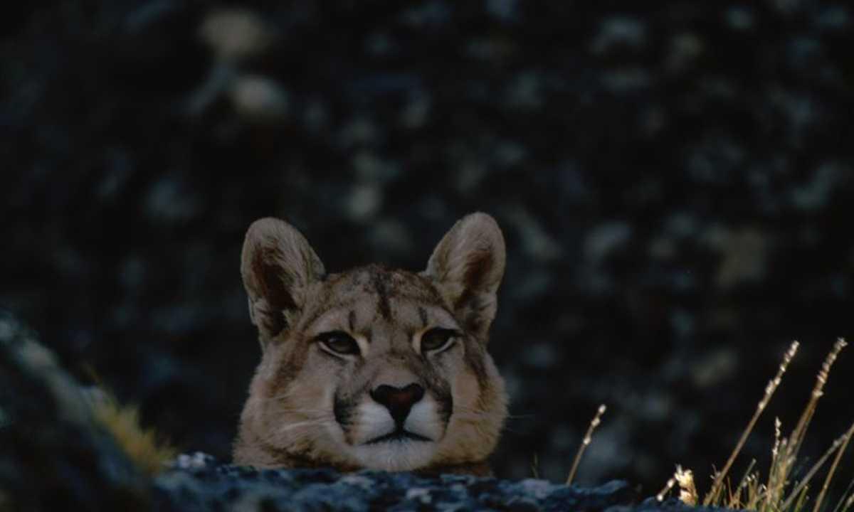 CN Puma Pic