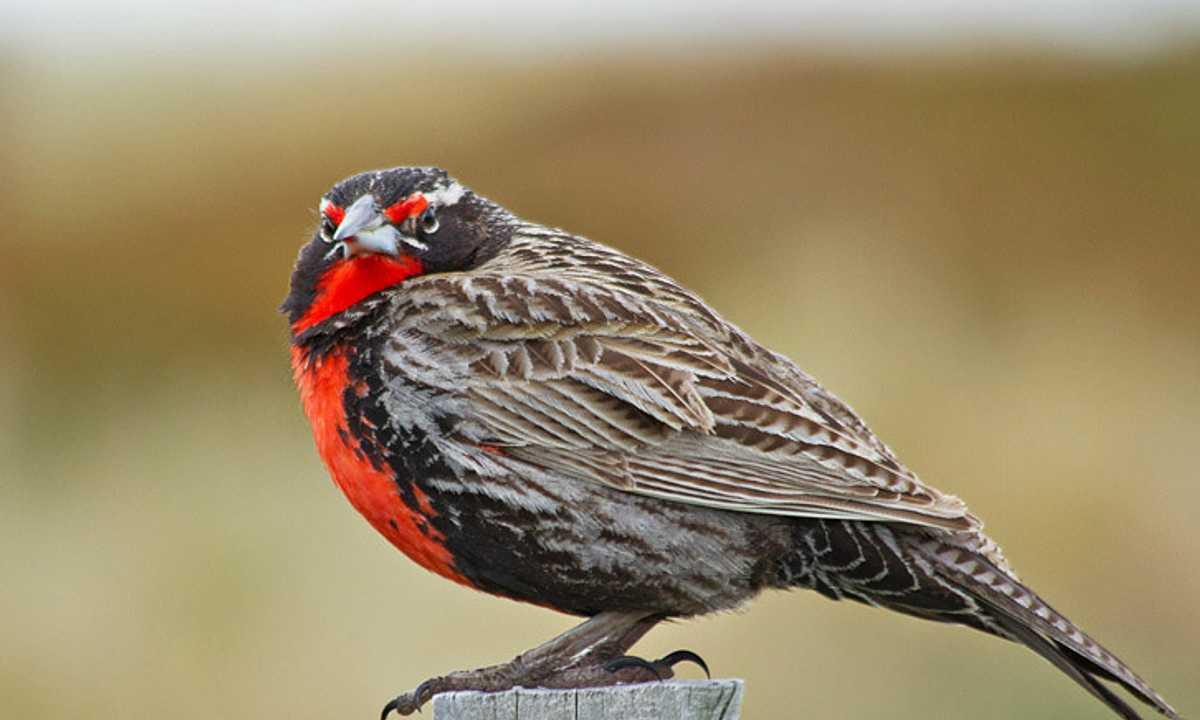 Birds long tailed meadowlark