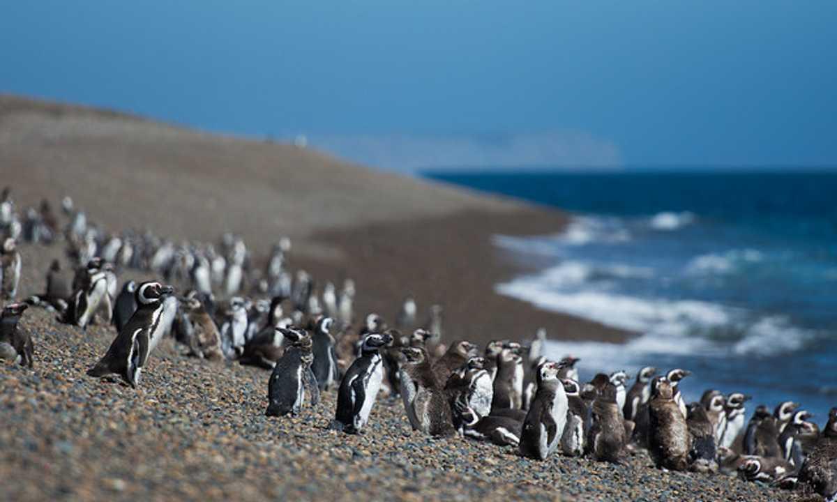 SWO_5_Charlie_ALL_Penguins-in-Valdes