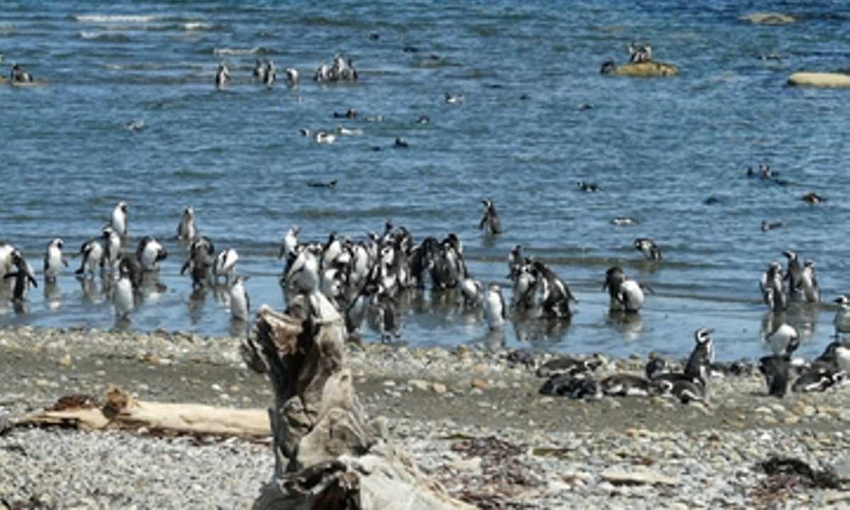 Senot Otway Penguins cropscale 360x217
