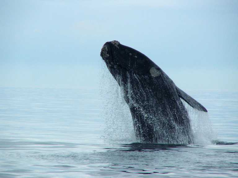 Southern-right-whale (5)