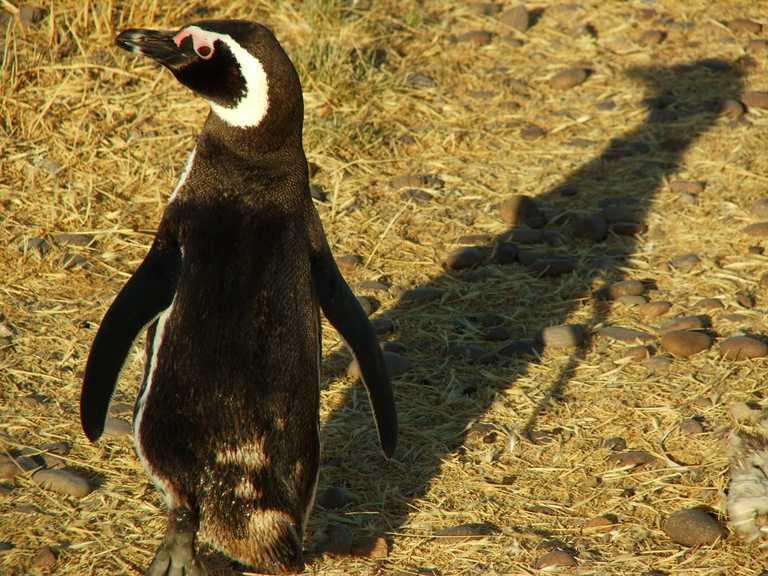 Valdes magellanic penguin