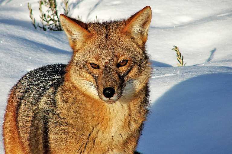 Culpeo Fox