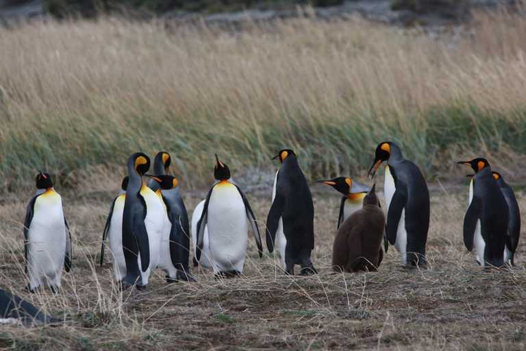 King Penguins - Porvenir