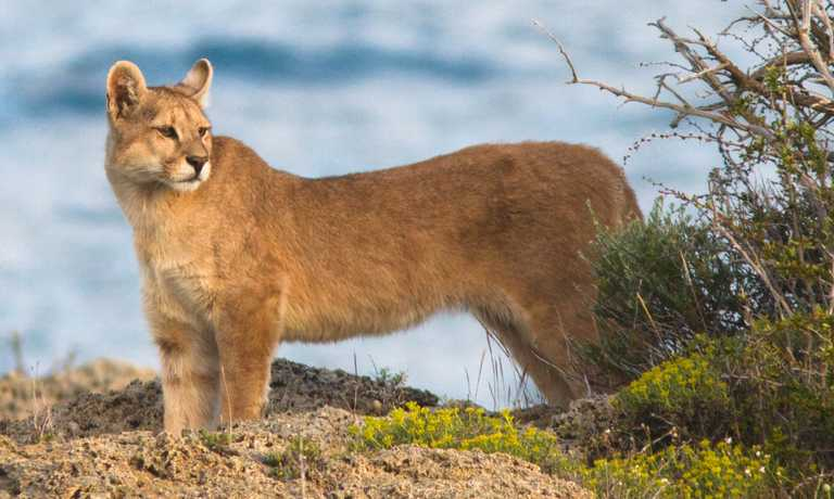 Patagonia Puma & Wildlife Tracking