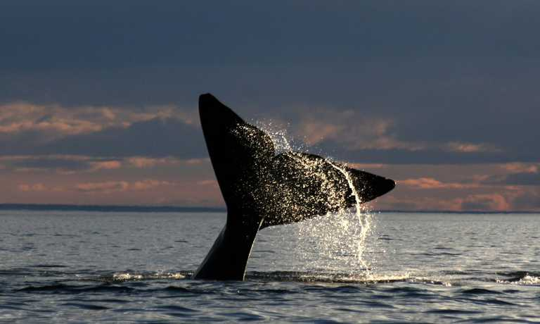 Southern Right Whales by Land, Air & Sea